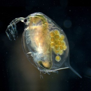 Zooplankton comprise a link between algae and fish
