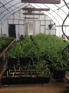 Inmates at MTC have monitored small scale greenhouse studies of community assembly and trait patterns